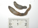 Sipuncula (peanut worms)