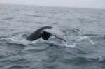 Humpback whale fluke