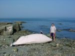 Beluga whale stranding