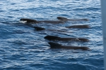 Pilot whales logging at surface