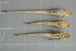 Alligatorfishes - comparison (ventral)