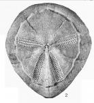 Rhynobrissus cuneus