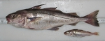 Melanogrammus aeglefinus - haddock, pair