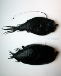 Ceratias holboelli and Cryptopsaras couesii (deepsea anglers)