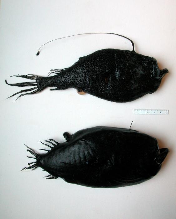 Ceratias holboelli and Cryptopsaras couesii (deepsea anglers)