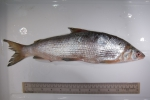 Coregonus clupeaformis - lake whitefish