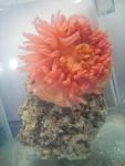 Urticina felina - aquarium view