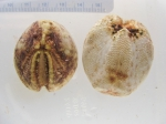 Brisaster fragilis - pair of urchins