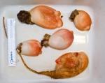Halocynthia and Boltenia - sea peaches with 1 sea potato.