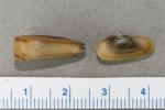 Cyrtodaria siliqua - small pair
