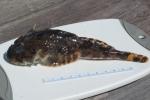 Myoxocephalus scorpius - shorthorn sculpin (small)