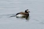 Clangula hyemalis - longtailed duck