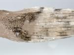 Icelus bicornis - Twohorn sculpin (spines)