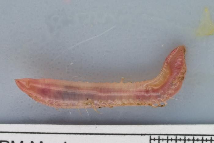 Ophelia limacina