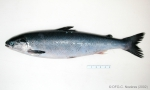 Salmo salar - Atlantic salmon