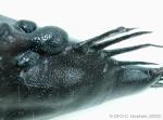 Cryptopsaras couesii - triplewart seadevil (carbuncles)