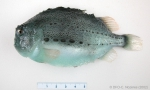 Cyclopterus lumpus - lumpfish (small)
