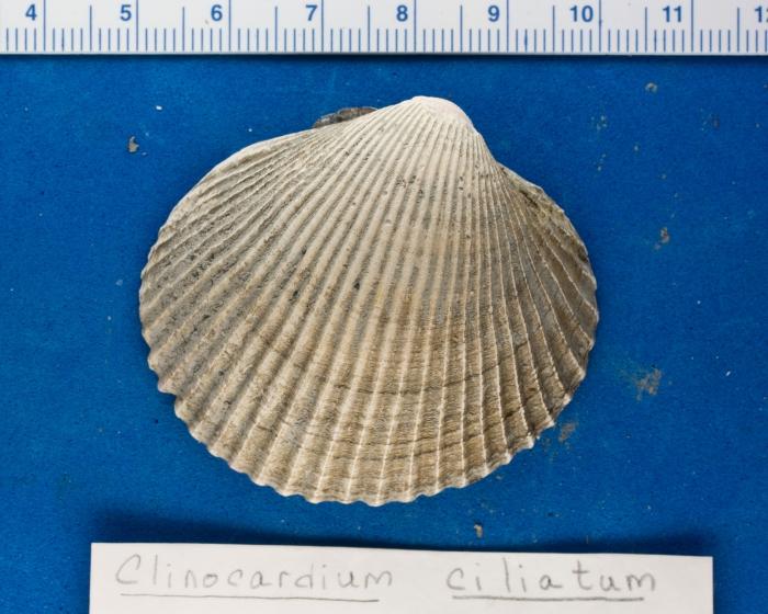 Clinocardium ciliatum - cockle shell