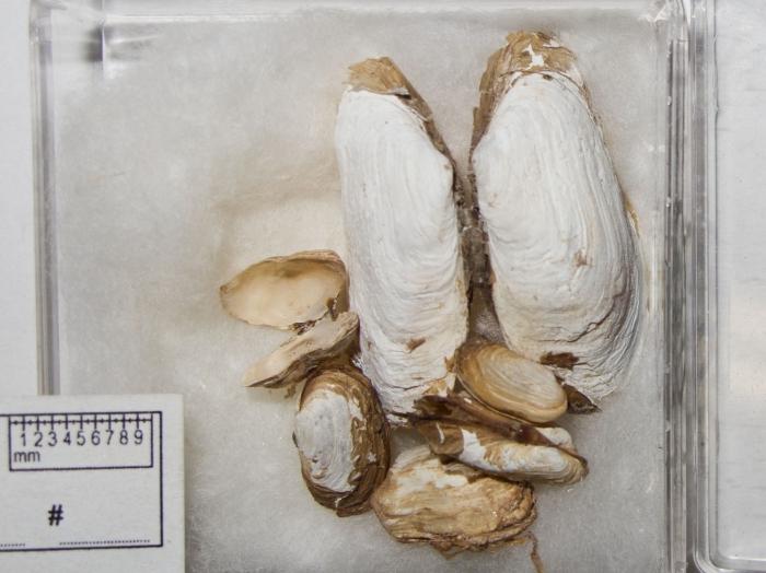Hiatella arctica in collection