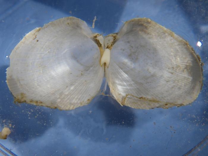 Lyonsiella (interior of valves)
