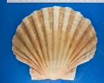A right valve of Pecten maximus (Linnaeus, 1758)