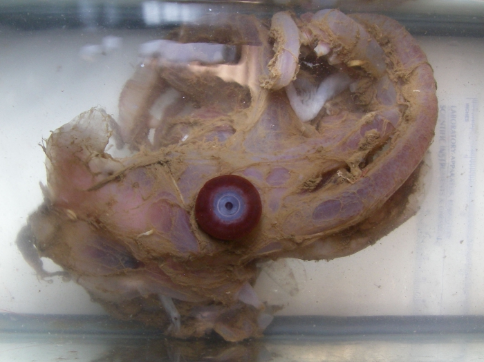 Stauroteuthis syrtensis - cirrate octopus