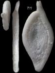 Spiroloculina novozealandica, New Zealand