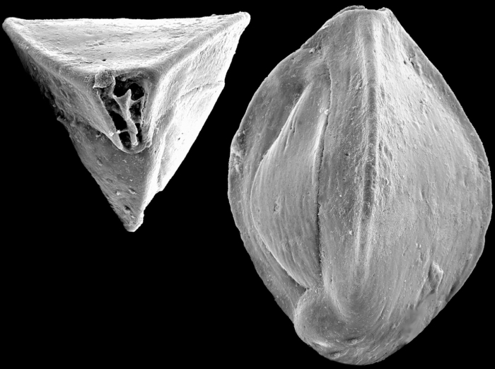 Triloculina tricarinata, New Zealand