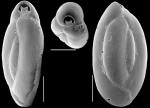 Triloculinella hornibrooki, New Zealand