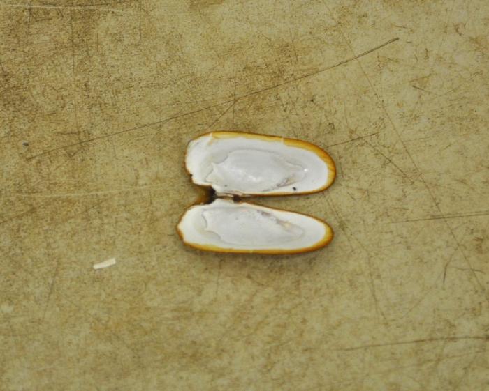 Cyrtodaria kurriana