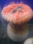 Actinauge cristata - anemone in aquarium