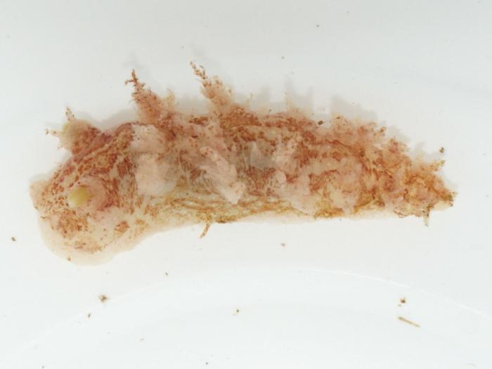 Dendronotus frondosus - nudibranch