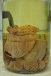 Actinostola spetsbergensis