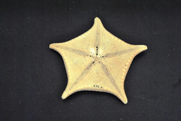 Ceramaster granularis granularis - oral surface