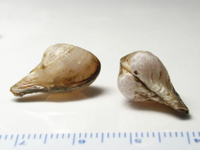 Cuspidaria glacialis (pair)