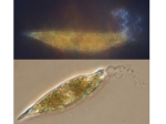 Eutreptiella braaudii