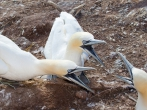 Morus bassanus - Northern Gannet, author: Chardine, John