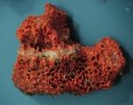 Acanthella cavernosa Seychelles