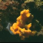 Demospongiae