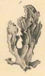 Acanthella obtusa Schmidt, 1862