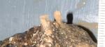Acanthella erecta ZMA Por. 20148