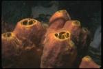 Acanthostrongylophora ingens