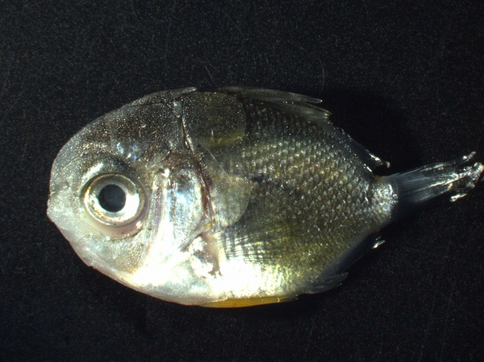 Chaetodontid (butterfly fish)
