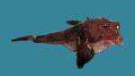Lophius americanus