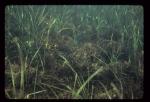 Rhodophyta (red algae)