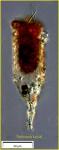 Tintinnopsis kofoidi