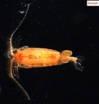 Copepod