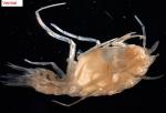 Lanceola sp.
