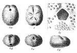Palaeostoma zitteli de Loriol, 1883