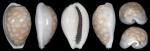 Holotype of Cribrarula angelae